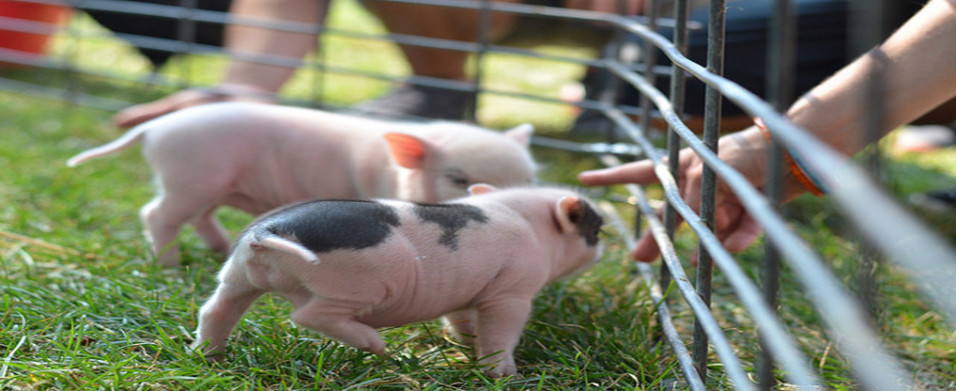 Common Problems In Teacup Pigs